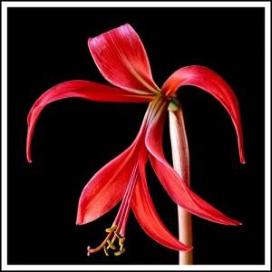 Photo Credit Lady In Red Flower by katzkitten on Photobucket